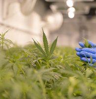 Marijuana in the Workplace: Clinical & Regulatory Update – Webinar June 23, 2021