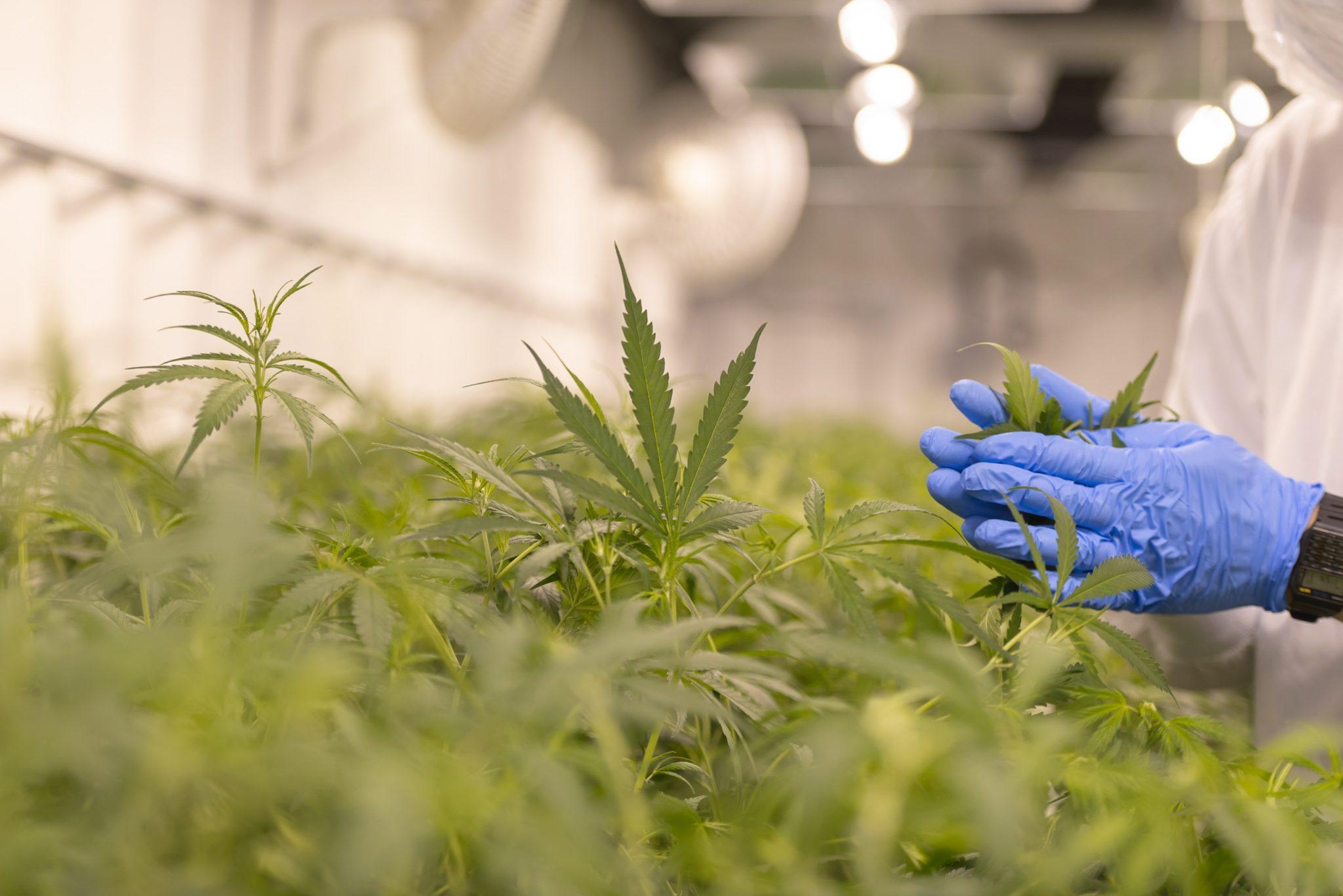 employee marijuana use